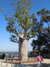 baobab the tree picture of park botanic