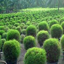 ornamental plant manufacturer in maharashtra india by hirvai the