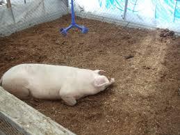 odorless pig technology u2013 natural farming hawai u0027i