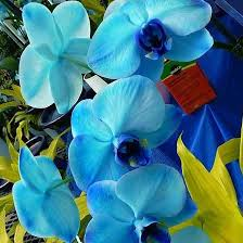 Blue Orchid Flower 25 Most Beautiful Blue Flowers