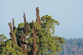 are giant sequoia trees succumbing to drought scientific american