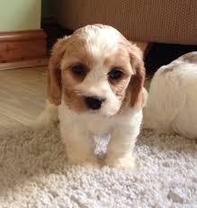 bichon frise meme beagle cross bichon frise dog pinterest bichon frise beagle