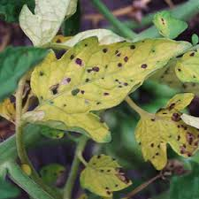 Plant Disease Diagnosis - tomato plant diseases