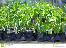 purple bell pepper plants stock photo image 54568423
