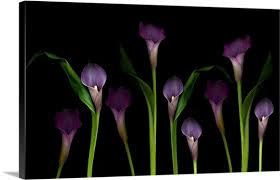 purple calla lilies purple calla lilies on black background wall canvas prints