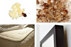 bed bug sheddings the truth about bed bugs essential facts everyone should know