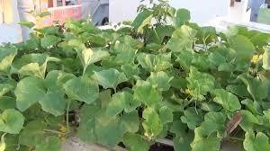 roof garden grow kakris youtube