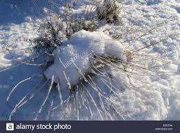 snow on a lavender plant winter in a garden in the uk stock photo
