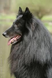 belgian shepherd short hair belgian shepherd dog groenendael belgian shepherd dogs form a