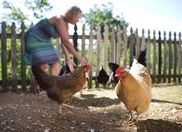 salmonella warning don u0027t snuggle with backyard chickens life