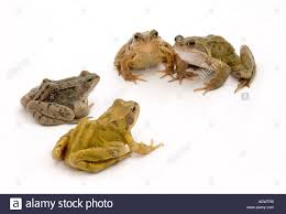 a group of frogs at a meeting stock photo royalty free image