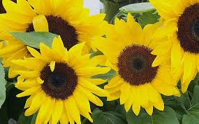 black oil sunflower seeds the best seeds for attracting birds to