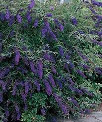 Shrub With Fragrant Purple Flowers - buddleia butterfly bush very fragrant and gets quite large 6 8