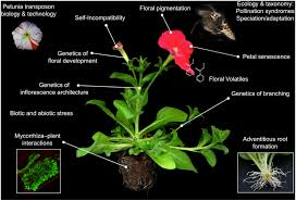 frontiers petunia your next supermodel plant science