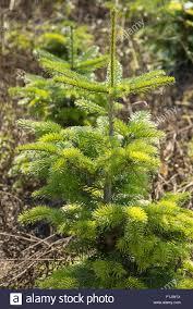 detail of a small fir tree in a nursery garden stock photo royalty