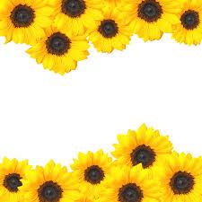 single sun flower wallpapers images of sunflower wallpaper borders for sc