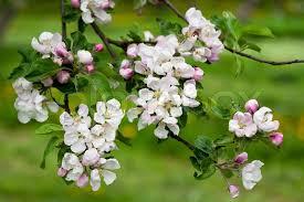 blossoms apple tree branch stock photo colourbox