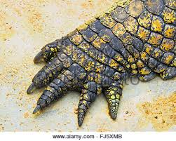 alligator claws crocodile stock photo royalty free image 8032652 alamy