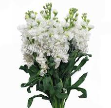 fresh flowers in bulk white stock flower fresh bulk wholesale stock filler