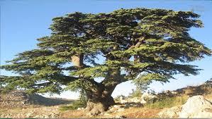 how did cedar trees help the phoenicians