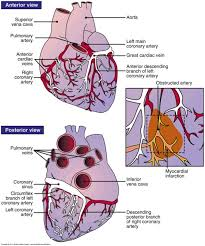 Anatomy Of The Heart Lab Best 25 Coronary Circulation Ideas Only On Pinterest Diagram Of