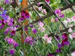 Sweet Pea Images Flower - amazon com sweet pea heirloom
