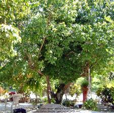 caymannature cayman plants caymannature fustic trees u2013 critically endangered
