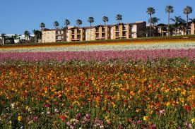carlsbad flower garden file the flower fields at carlsbad ranch 24 2016 05 13 jpg