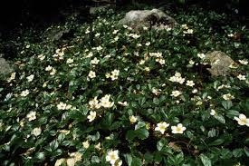 fragaria chiloensis strawberry for yard ground covers