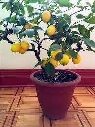 meyer lemon jennifer mclagan