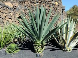succulents meaning agave world of succulents