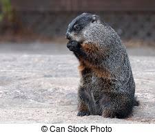 groundhog stock photo images 1 403 groundhog royalty free images