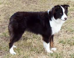 7 month old australian shepherd puppy difficult calls