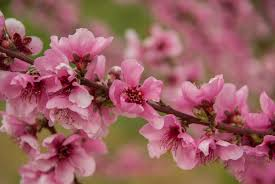 tree with pink flowers free images branch flower petal food produce botany