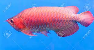 Buy Ornamental Fish Arowana In Aquarium Ornamental Fish Is Considered A Symbol Of