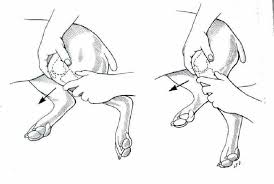 Dog Anatomy Front Leg Drawer Sign Test And Tibial Compression Exam
