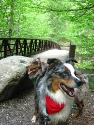 hiking with australian shepherds gatlinburg trail bring your pet to gatlinburg