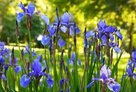 iris flowers iris flowers in summer city park stock photo colourbox