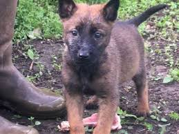 belgian shepherd x lurcher belgian shepherd dog dogs and puppies for sale in the uk pets4homes