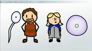 North Dakota how fast does sperm travel images Ovum definition function structure video lesson transcript jpg