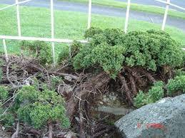 air layered juniper