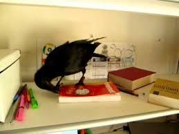 corbeau bureau rangement de bureau vu par un corbeau