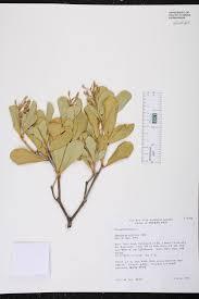 native florida air plants jacquinia arborea species page isb atlas of florida plants