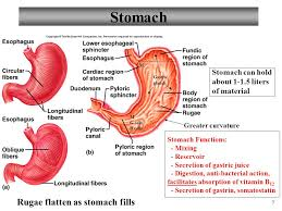 Esophagus And Stomach Anatomy Anatomy And Physiology Part 3 Stomach And Stomach Control Ppt