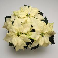 white poinsettia poinsettia wintersun white
