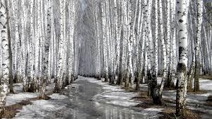 pix for u003e white birch trees wallpaper gathering pinterest