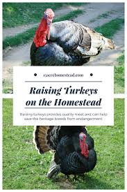 raising turkeys on your homestead homesteads and farming