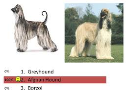afghan hound job hound group 1 greyhound 2 afghan hound 3 borzoi ppt download
