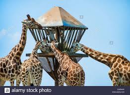 Six Flags Wild Safari Giraffes Feeding Safari Six Flags New Jersey Usa Stock Photo