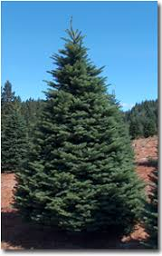 noble fir christmas tree wholesale noble fir christmas trees